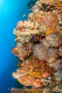 Underwater Reef with Invertebrates, Gorgonians, Coral Polyps, Sea of Cortez, Baja California. Mikes Reef, Baja California, Mexico, natural history stock photograph, photo id 33500