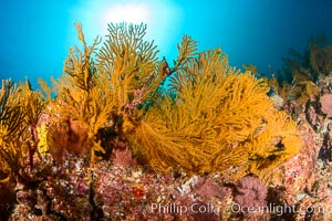 Underwater Reef with Invertebrates, Gorgonians, Coral Polyps, Sea of Cortez, Baja California. Mikes Reef, Baja California, Mexico, natural history stock photograph, photo id 33501