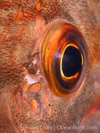 Unidentified fish eyeball closeup, San Diego, California