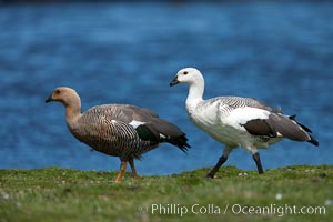 Upland goose, male (white) and female, beside pond in the interior of Carcass Island near Dyke Bay, Chloephaga picta