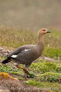 "Upland goose, female, walking across grasslands. Males have a white head and breast, females are brown with black-striped wings and yellow feet. Upland geese are 24-29""  long and weigh about 7 lbs, Chloephaga picta, New Island"