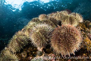 Sea urchins cling to a shallow reef in Browning Pass, Vancouver Island. British Columbia, Canada, natural history stock photograph, photo id 35323