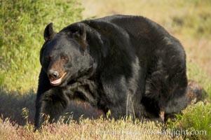 American black bear, adult male., Ursus americanus, natural history stock photograph, photo id 12249