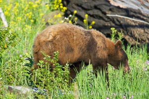 A cinnamon black bear, Lamar Valley.  Black bears (as opposed to grizzly bears) may actually have coats of black, light or dark brown, or cinnamon reddish-brown, Ursus americanus, Yellowstone National Park, Wyoming
