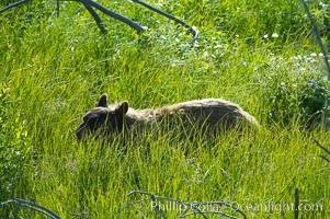 This black bear is wading through deep grass grazing on wild flowers.  Lamar Valley, Ursus americanus, Yellowstone National Park, Wyoming