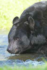 American black bear, adult male, Sierra Nevada foothills, Mariposa, California., Ursus americanus, natural history stock photograph, photo id 15980