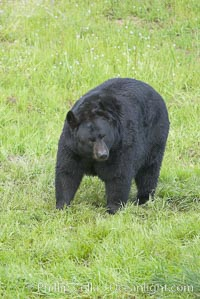 American black bear, adult male, Sierra Nevada foothills, Mariposa, California., Ursus americanus, natural history stock photograph, photo id 15983