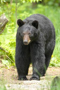 Black bear walking in a forest.  Black bears can live 25 years or more, and range in color from deepest black to chocolate and cinnamon brown.  Adult males typically weigh up to 600 pounds.  Adult females weight up to 400 pounds and reach sexual maturity at 3 or 4 years of age.  Adults stand about 3' tall at the shoulder. Orr, Minnesota, USA, Ursus americanus, natural history stock photograph, photo id 18760