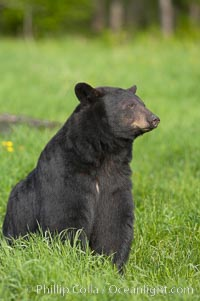 Black bear portrait sitting in long grass.  This bear still has its thick, full winter coat, which will be shed soon with the approach of summer.  Black bears are omnivores and will find several foods to their liking in meadows, including grasses, herbs, fruits, and insects, Ursus americanus, Orr, Minnesota