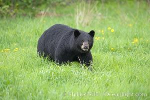 Black bear walking in a grassy meadow.  Black bears can live 25 years or more, and range in color from deepest black to chocolate and cinnamon brown.  Adult males typically weigh up to 600 pounds.  Adult females weight up to 400 pounds and reach sexual maturity at 3 or 4 years of age.  Adults stand about 3' tall at the shoulder. Orr, Minnesota, USA, Ursus americanus, natural history stock photograph, photo id 18765