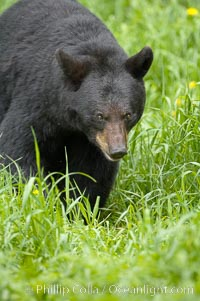 Black bear walking in a grassy meadow.  Black bears can live 25 years or more, and range in color from deepest black to chocolate and cinnamon brown.  Adult males typically weigh up to 600 pounds.  Adult females weight up to 400 pounds and reach sexual maturity at 3 or 4 years of age.  Adults stand about 3' tall at the shoulder. Orr, Minnesota, USA, Ursus americanus, natural history stock photograph, photo id 18770