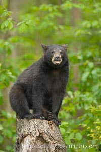 Black bear yearling sits on a stumb in a northern Minnesota forest, Ursus americanus, Orr