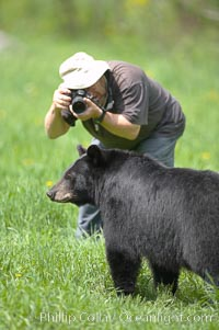 Photographer crouches down to photograph a black bear walking by, Ursus americanus, Orr, Minnesota