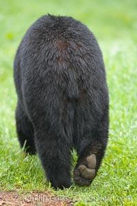 Tail and hind end of an American black bear, Ursus americanus, Orr, Minnesota