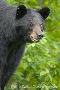 Black bear portrait.  American black bears range in color from deepest black to chocolate and cinnamon brown.  They prefer forested and meadow environments. This bear still has its thick, full winter coat, which will be shed soon with the approach of summer, Ursus americanus, Orr, Minnesota