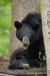 American black bear, mother and cub, Ursus americanus, Orr, Minnesota