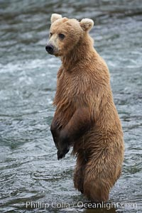 Brown bear (grizzly bear). Brooks River, Katmai National Park, Alaska, USA, Ursus arctos, natural history stock photograph, photo id 17184