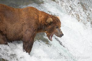 Brown bear (grizzly bear) yawns while waiting for salmon swimming upstream, Ursus arctos, Brooks River, Katmai National Park, Alaska
