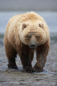Coastal brown bear on sand flats at low tide. Lake Clark National Park, Alaska, USA, Ursus arctos, natural history stock photograph, photo id 19142