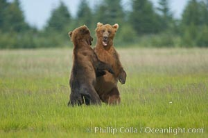 Brown bears fighting or sparring.  These are likely young but sexually mature males that are simply mock fighting for practice, Ursus arctos, Lake Clark National Park, Alaska