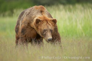 Full grown, mature male coastal brown bear boar (grizzly bear) in sedge grass meadows, Ursus arctos, Lake Clark National Park, Alaska
