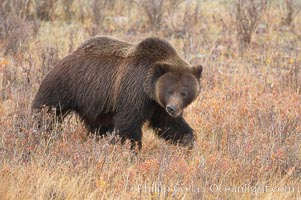 Grizzly bear, autumn, fall, brown grasses, Ursus arctos horribilis, Lamar Valley, Yellowstone National Park, Wyoming