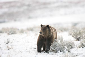 Grizzly bear in snow. Lamar Valley, Yellowstone National Park, Wyoming, USA, Ursus arctos horribilis, natural history stock photograph, photo id 21000
