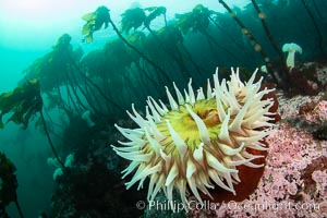 Urticina anemone and forest of bull kelp,  Browning Pass, Vancouver Island, Urticina piscivora