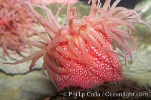 Beaded anemone., Urticina lofotensis, natural history stock photograph, photo id 11768