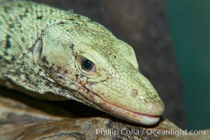 Quince monitor lizard., Varanus melinus, natural history stock photograph, photo id 12624