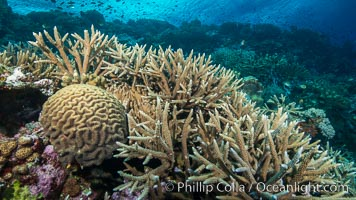 Brain and staghorn corals on pristine Fijian coral reef, Acropora palifera, Symphyllia