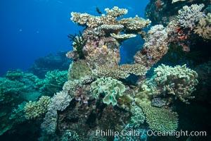 Various hard corals on pristine Fijian coral reef, Vatu I Ra Passage, Bligh Waters, Viti Levu  Island