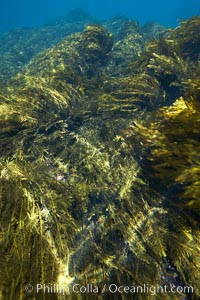 Various kelp and algae, shallow water, Stephanocystis dioica, Guadalupe Island (Isla Guadalupe)