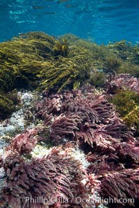 Various kelp and algae, shallow water. Guadalupe Island (Isla Guadalupe), Baja California, Mexico, Asparagopsis taxiformis, natural history stock photograph, photo id 21402