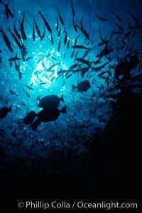 Various schooling fish