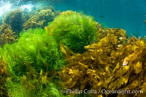 Various species of marine algae, and surfgrass cover the rocky reef. San Clemente Island, California, USA, natural history stock photograph, photo id 25418