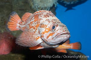Vermillion rockfish., Sebastes miniatus, natural history stock photograph, photo id 11857