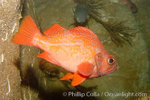 Vermillion rockfish., Sebastes miniatus, natural history stock photograph, photo id 09436