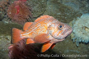 Vermillion rockfish., Sebastes miniatus, natural history stock photograph, photo id 11855