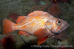Vermillion rockfish., Sebastes miniatus, natural history stock photograph, photo id 11858