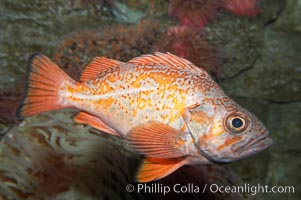 Vermillion rockfish., Sebastes miniatus, natural history stock photograph, photo id 11861