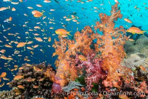 Dendronephthya soft corals and schooling Anthias fishes, feeding on plankton in strong ocean currents over a pristine coral reef. Fiji is known as the soft coral capitlal of the world. Gau Island, Lomaiviti Archipelago, Dendronephthya, Pseudanthias, natural history stock photograph, photo id 31318