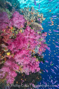 Dendronephthya soft corals and schooling Anthias fishes, feeding on plankton in strong ocean currents over a pristine coral reef. Fiji is known as the soft coral capitlal of the world. Namena Marine Reserve, Namena Island, Fiji, Dendronephthya, Pseudanthias, natural history stock photograph, photo id 31415