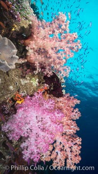 Dendronephthya soft corals and schooling Anthias fishes, feeding on plankton in strong ocean currents over a pristine coral reef. Fiji is known as the soft coral capitlal of the world. Namena Marine Reserve, Namena Island, Fiji, Dendronephthya, Pseudanthias, natural history stock photograph, photo id 31591