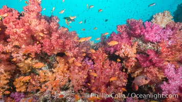 Dendronephthya soft corals and schooling Anthias fishes, feeding on plankton in strong ocean currents over a pristine coral reef. Fiji is known as the soft coral capitlal of the world. Gau Island, Lomaiviti Archipelago, Dendronephthya, Pseudanthias, natural history stock photograph, photo id 31718