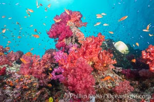 Dendronephthya soft corals and schooling Anthias fishes, feeding on plankton in strong ocean currents over a pristine coral reef. Fiji is known as the soft coral capitlal of the world, Dendronephthya, Pseudanthias, Gau Island, Lomaiviti Archipelago
