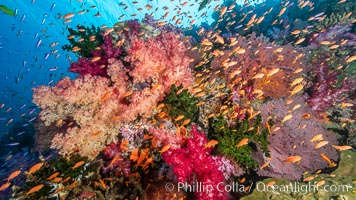 Dendronephthya soft corals and schooling Anthias fishes, feeding on plankton in strong ocean currents over a pristine coral reef. Fiji is known as the soft coral capitlal of the world, Dendronephthya, Pseudanthias
