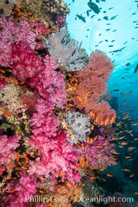 Dendronephthya soft corals and schooling Anthias fishes, feeding on plankton in strong ocean currents over a pristine coral reef. Fiji is known as the soft coral capitlal of the world., Dendronephthya, Pseudanthias, natural history stock photograph, photo id 34889