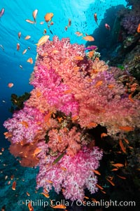 Dendronephthya soft corals and schooling Anthias fishes, feeding on plankton in strong ocean currents over a pristine coral reef. Fiji is known as the soft coral capitlal of the world., Dendronephthya, Pseudanthias, natural history stock photograph, photo id 34891