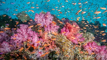 Dendronephthya soft corals and schooling Anthias fishes, feeding on plankton in strong ocean currents over a pristine coral reef. Fiji is known as the soft coral capitlal of the world., Dendronephthya, Pseudanthias, natural history stock photograph, photo id 34915